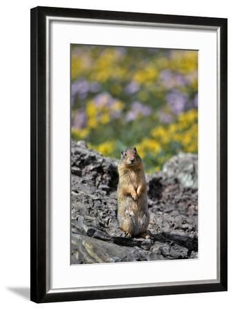 USA, Montana, Glacier NP. Columbia Ground Squirrel Close-up-Steve Terrill-Framed Photographic Print