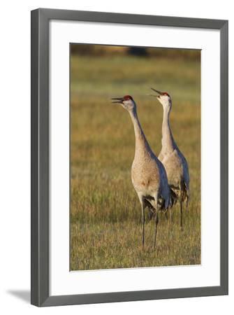 Sandhill Cranes Calling-Ken Archer-Framed Photographic Print
