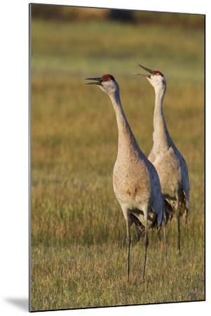 Sandhill Cranes Calling-Ken Archer-Mounted Photographic Print