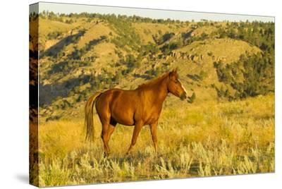 USA, South Dakota, Wild Horse Sanctuary. Wild Horse in Field-Cathy & Gordon Illg-Stretched Canvas Print
