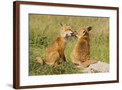 Red Fox Kits Playing-Ken Archer-Framed Photographic Print