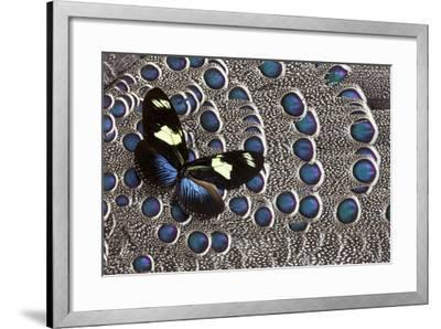 Heliconius Longwing Butterfly on Grey Peacock Pheasant Feather Design-Darrell Gulin-Framed Photographic Print