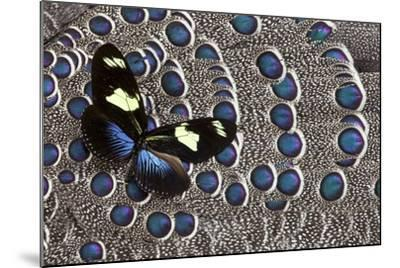 Heliconius Longwing Butterfly on Grey Peacock Pheasant Feather Design-Darrell Gulin-Mounted Photographic Print