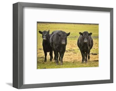 Skagit Valley, Washington State. Cows in the Rain-Matt Freedman-Framed Photographic Print