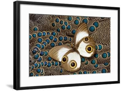 Taenaris Catops Butterfly on Malayan Peacock-Pheasant Feather Design-Darrell Gulin-Framed Photographic Print