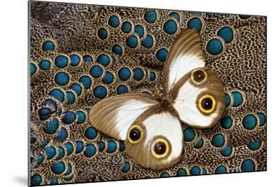 Taenaris Catops Butterfly on Malayan Peacock-Pheasant Feather Design-Darrell Gulin-Mounted Photographic Print