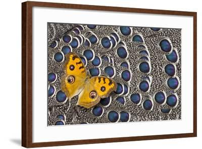 Pansy Butterfly on Grey Peacock Pheasant Feather Design-Darrell Gulin-Framed Photographic Print