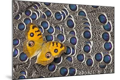 Pansy Butterfly on Grey Peacock Pheasant Feather Design-Darrell Gulin-Mounted Photographic Print