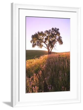 Oak Tree Near Field of Oxeye Daisies and Wheat, Palouse, Washington-Stuart Westmorland-Framed Photographic Print