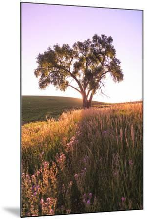 Oak Tree Near Field of Oxeye Daisies and Wheat, Palouse, Washington-Stuart Westmorland-Mounted Photographic Print