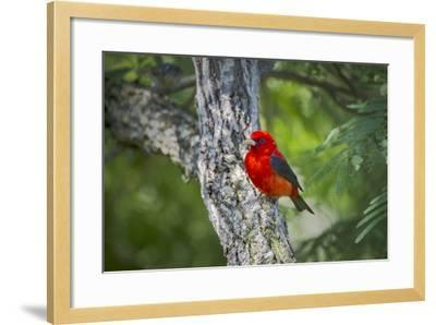 Scarlet Tanager (Piranga Ludoviciana) Male Perched-Larry Ditto-Framed Photographic Print