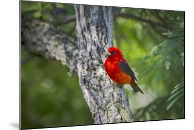 Scarlet Tanager (Piranga Ludoviciana) Male Perched-Larry Ditto-Mounted Photographic Print