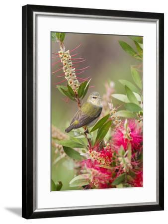 Tennessee Warbler (Vermivora Peregrina) Foraging for Insects-Larry Ditto-Framed Photographic Print