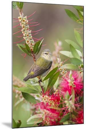 Tennessee Warbler (Vermivora Peregrina) Foraging for Insects-Larry Ditto-Mounted Photographic Print