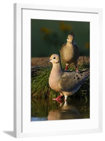 Mourning Doves (Zeaida Macroura) Pair-Larry Ditto-Framed Photographic Print
