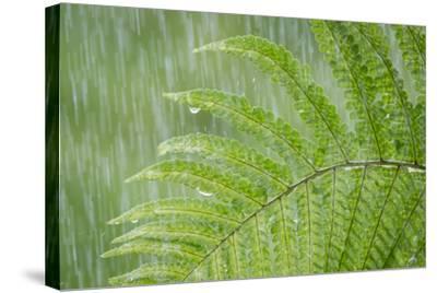 USA, Washington State, Seabeck. Fern in Rainfall-Don Paulson-Stretched Canvas Print