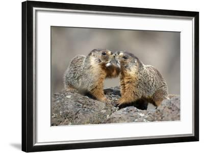 Yellow-Bellied Marmots Play Out a Mating Ritual in the High Desert-Richard Wright-Framed Photographic Print