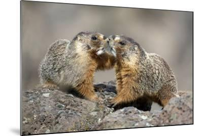 Yellow-Bellied Marmots Play Out a Mating Ritual in the High Desert-Richard Wright-Mounted Photographic Print