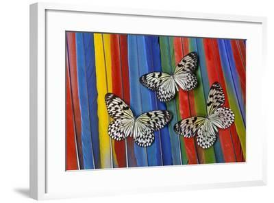 Paper Kite Tropical Butterfly on Macaw Tail Feather Design-Darrell Gulin-Framed Photographic Print