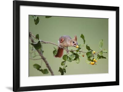 Northern Cardinal Female Feeding on Anacua Berries-Larry Ditto-Framed Photographic Print