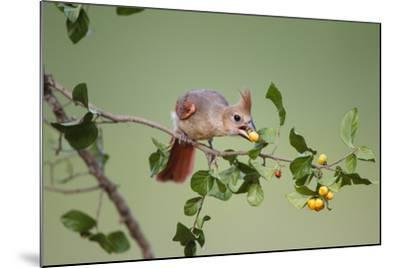 Northern Cardinal Female Feeding on Anacua Berries-Larry Ditto-Mounted Photographic Print