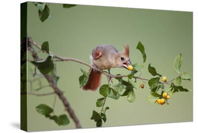 Northern Cardinal Female Feeding on Anacua Berries-Larry Ditto-Stretched Canvas Print