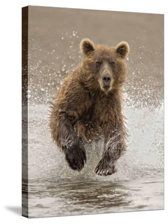 Bears at Play II-PHBurchett-Stretched Canvas Print