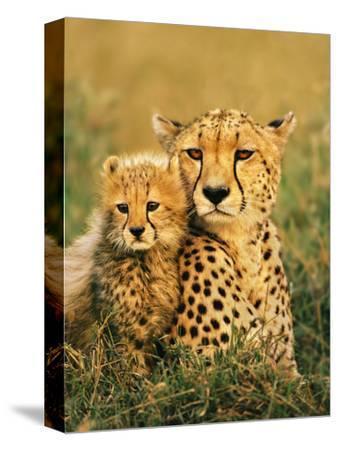 Cheetah and Cub, Masai Mara Reserve, Kenya-Frans Lanting-Stretched Canvas Print