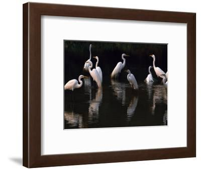 Great Egrets in Lagoon, Pantanal, Brazil-Frans Lanting-Framed Photographic Print