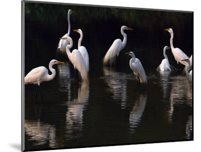 Great Egrets in Lagoon, Pantanal, Brazil-Frans Lanting-Mounted Photographic Print