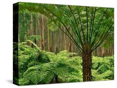 Tree Ferns in Eucalyptus Forest, Ferntree Gully National Park, Australia-Frans Lanting-Stretched Canvas Print