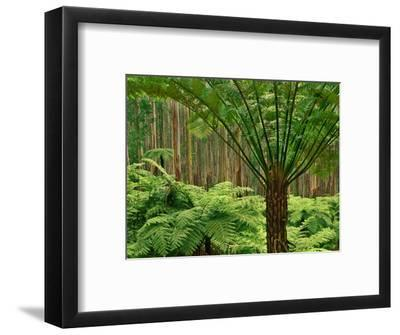 Tree Ferns in Eucalyptus Forest, Ferntree Gully National Park, Australia-Frans Lanting-Framed Photographic Print