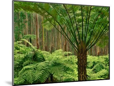 Tree Ferns in Eucalyptus Forest, Ferntree Gully National Park, Australia-Frans Lanting-Mounted Photographic Print