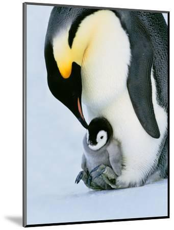 Emperor Penguin with Chick on Feet, Weddell Sea, Antarctica-Frans Lanting-Mounted Photographic Print