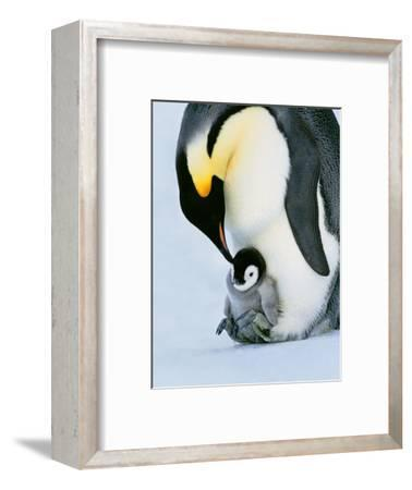 Emperor Penguin with Chick on Feet, Weddell Sea, Antarctica-Frans Lanting-Framed Photographic Print