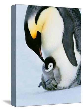 Emperor Penguin with Chick on Feet, Weddell Sea, Antarctica-Frans Lanting-Stretched Canvas Print