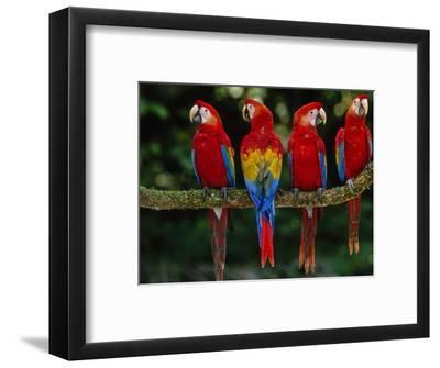 Scarlet Macaws on Branch, Ara Macao, Tambopata National Reserve, Peru-Frans Lanting-Framed Photographic Print