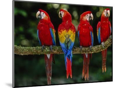 Scarlet Macaws on Branch, Ara Macao, Tambopata National Reserve, Peru-Frans Lanting-Mounted Photographic Print