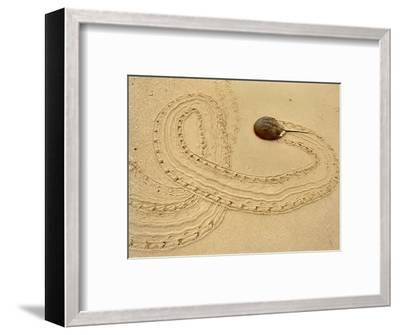 Horseshoe Crab on Beach, Limulus Polyphemus, Delaware Bay, New Jersey-Frans Lanting-Framed Photographic Print