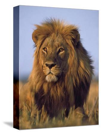 Lion, Panthera Leo, Chobe National Park, Botswana-Frans Lanting-Stretched Canvas Print