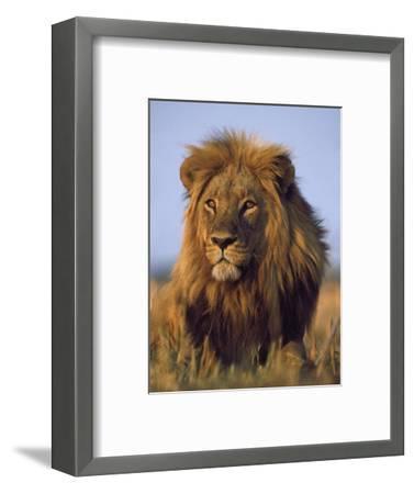Lion, Panthera Leo, Chobe National Park, Botswana-Frans Lanting-Framed Photographic Print