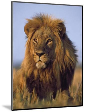 Lion, Panthera Leo, Chobe National Park, Botswana-Frans Lanting-Mounted Photographic Print