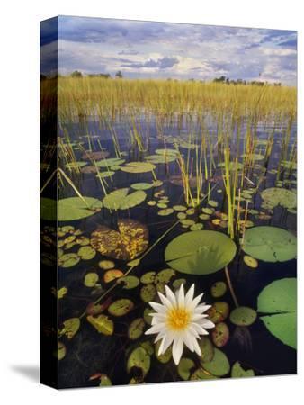 Water Lilies, Okavango Delta, Botswana-Frans Lanting-Stretched Canvas Print