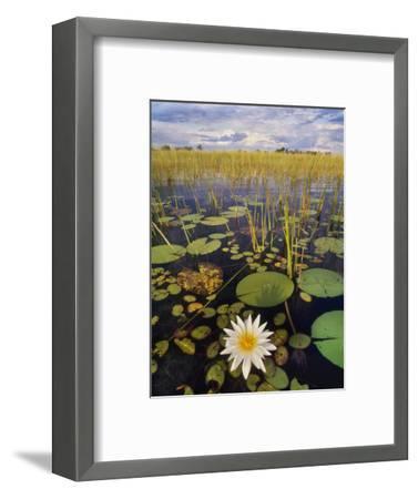 Water Lilies, Okavango Delta, Botswana-Frans Lanting-Framed Photographic Print