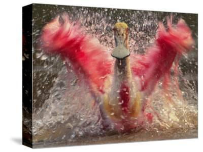 Roseate Spoonbill Bathing, Platalea Ajaja, Pantanal, Brazil-Frans Lanting-Stretched Canvas Print