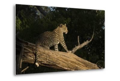 A Female Leopard in a Tree-Bob Smith-Metal Print