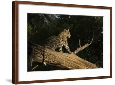 A Female Leopard in a Tree-Bob Smith-Framed Photographic Print