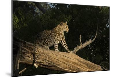 A Female Leopard in a Tree-Bob Smith-Mounted Photographic Print