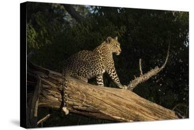 A Female Leopard in a Tree-Bob Smith-Stretched Canvas Print