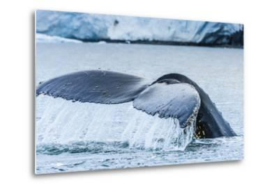 A Humpback Whale Tail Near Paradise Harbor, Antarctica-Ralph Lee Hopkins-Metal Print